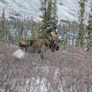 Dall Sheep Moose Caribou Hunts
